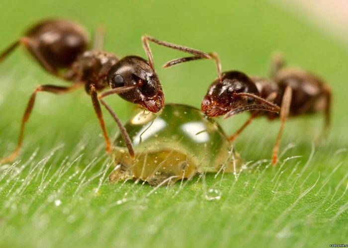 ჭიანჭვეები გროუ რუმში - ეს კარგია თუ ცუდი?