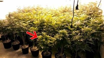 გადახაროს და დაამაგროს მცენარის ღერო ნებისმიერი მიმართულებით.