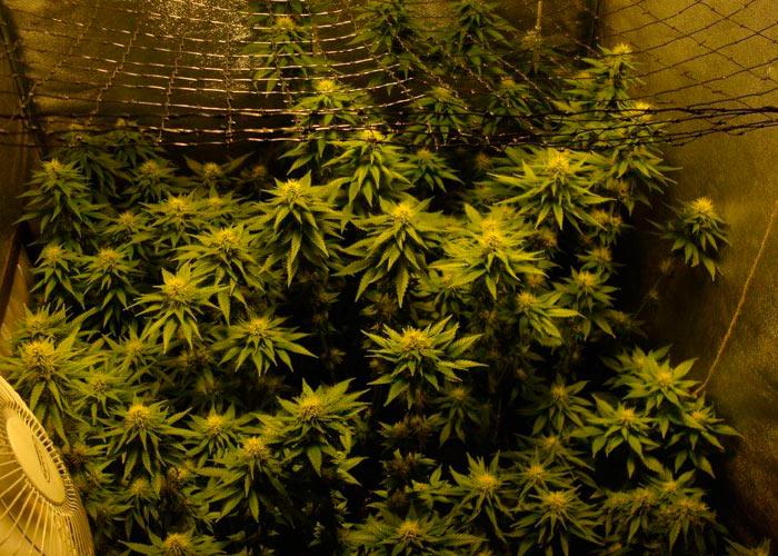 მცენარის კრონის ზომა და სიმჭიდროვე