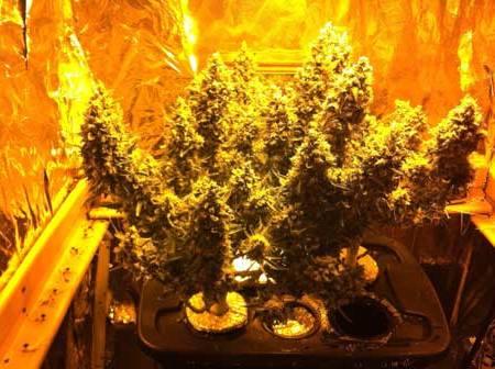განავითარეთ მცენარეები ოპტიმალურ ზომამდე