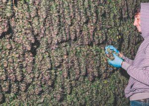რვა საიდუმლოება კანაფის მოსავლის გაზრდისთვის ყვავილობის წინ