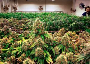 როგორ გავზარდოთ THC-ს შემცველობა კანაფის ზრდის პროცესში