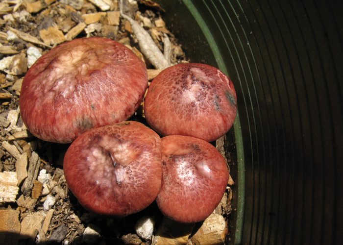 Gymnopilus purpuratus
