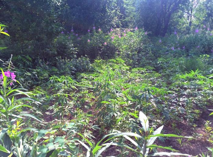 რა უნდა გაკეთდეს ტყეში მარიხუანის დარგვამდე?
